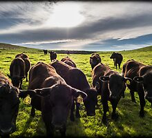 Peninsula Cows by Adrian Cusmano