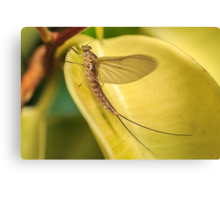 Ephemeroptera Canvas Print