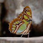 Butterfly 2 by lmcarlos