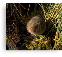 Water Vole on Rock Canvas Print