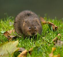 Water Vole on River Bank by Sue Robinson