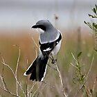 Northern Shrike by SuddenJim