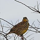 Western Meadowlark by SuddenJim