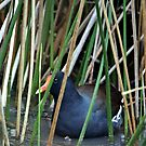 Purple Gallinule by SuddenJim