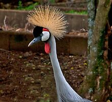 Grey Crowned Crane by phil decocco