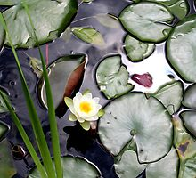 Lilly Pads by Danielzuber