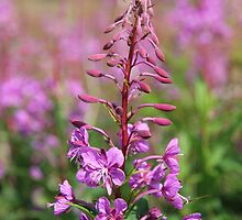 Fireweed by Harald Ole Hansen