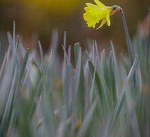 Daffodil Delight by Heidi Stewart
