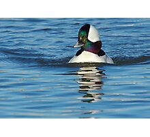 Bufflehead Lake Atlanta Rogers, Arkansas Photographic Print