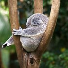 Koala Bear Australia by Gotcha29