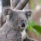 Koala Bear 3 by Gotcha29