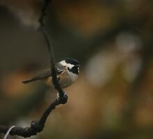 An elusive coal tit by miradorpictures