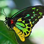Cairns Birdwing Butterfly by Margot Kiesskalt