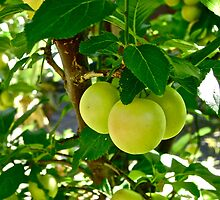 Green Apples by Solarbee