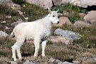 Mountain Goat kid by Eivor Kuchta