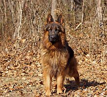 German Shepherd - Gusto by Sandy Keeton