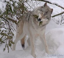 A nesting Wolf...?.... by John44