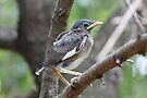 Second Mynah fledgling by Maree  Clarkson