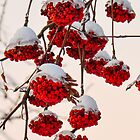 Snow Berries  by Nancy Barrett