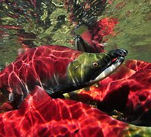 Sockeye Salmon Crowd by Wolfgang Zwicknagl Photography
