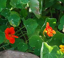 Nasturtium Surprise by Myscha Theriault