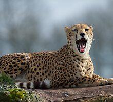 Cheetah by ChrisMillsPhoto