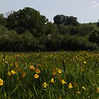 Buttercup Field by dvdan