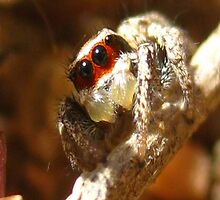 Red Masked Jumping Spider by Michelle McCullough