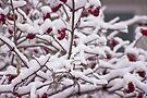 Snow On The Elderberries  by Sandra Foster