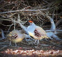 Gambels Quail~ Father w/ Chick by Kimberly Chadwick