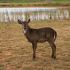 waterbuck by Frank Moroni