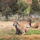 Antelopes by Frank Moroni