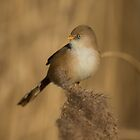 Bearded Tit by dgwildlife