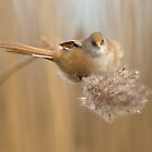 Bearded Tit Feeding by dgwildlife