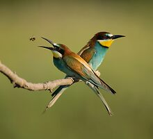 European Bee-Eaters by dgwildlife