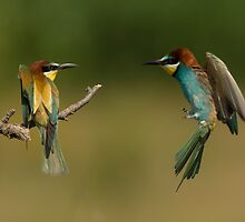 European Bee-Eater in Flight by dgwildlife
