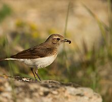 Pied Wheatear Female by dgwildlife