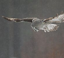 Great Grey Owl Hunting by dgwildlife