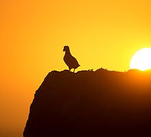 Atlantic puffin Enjoys Sunset by dgwildlife