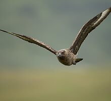 Great Skua in Flight by dgwildlife