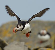 Atlantic Puffin in Flight by dgwildlife