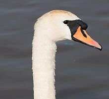Mute Swan Portrait by Robert Carr