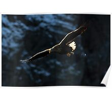 White-tailed Eagle in Flight Poster