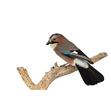 Eurasian Jay Perched on Tree Branch Photographic Print