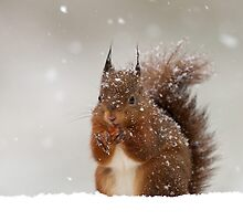 Red Squirrel in Winter by dgwildlife