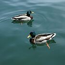 Pair of Male Mallards by Marie Van Schie