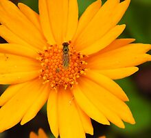 Fly On The Coreopsis by WildestArt