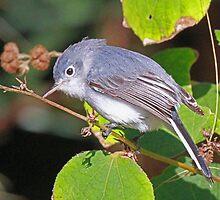 A Blue-Gray Gnatcatcher by jozi1