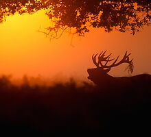 Red Deer at Dawn by dgwildlife
