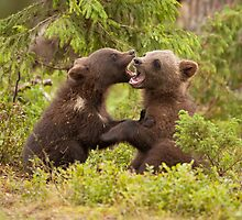 Bear Cubs Playing by dgwildlife